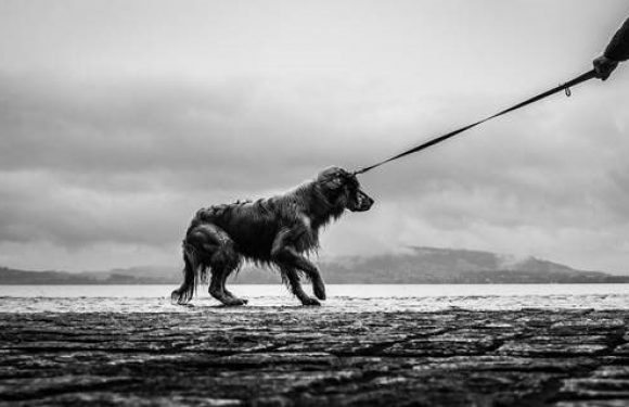 Black and white photo of a cowering dog on a leash