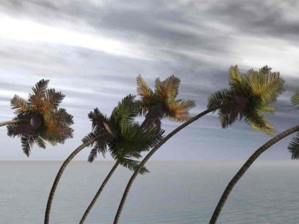 Palm trees bending during a hurricane